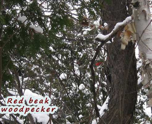 Red beak Woodpecker - 005